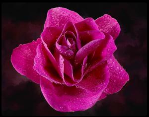 flower, pink flower